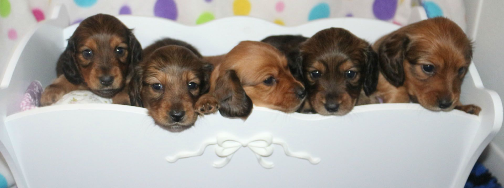 Available Long Haired Dachshund Puppies For Sale in Maine